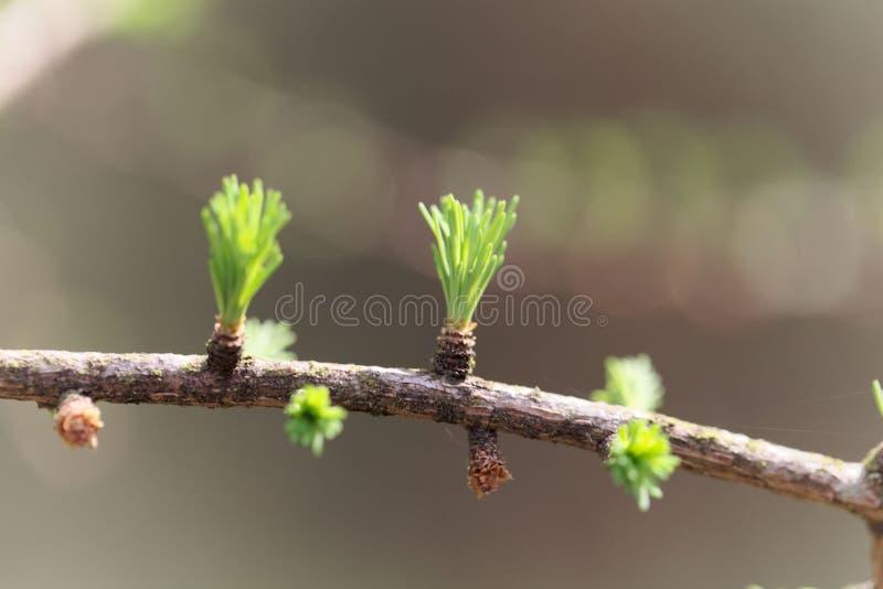 Jonge naalden van een laricina van tamaracklarix stock afbeelding