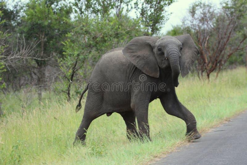 Jonge olifant royalty-vrije stock foto's