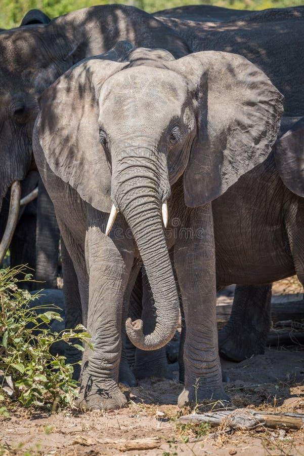 Jonge olifant in kudde met verdraaide boomstam stock afbeelding