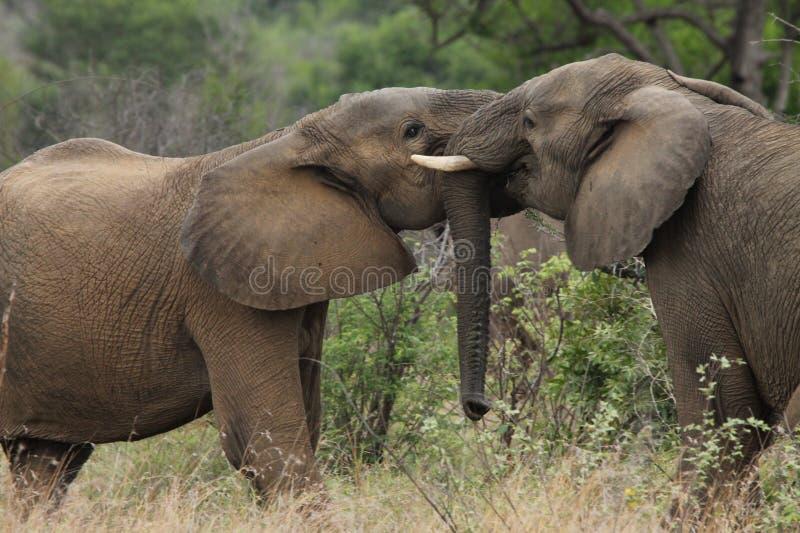 Jonge olifanten stock fotografie