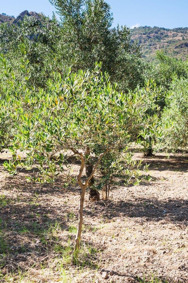 Jonge olijfboom in tuin in Sicilië royalty-vrije stock foto's