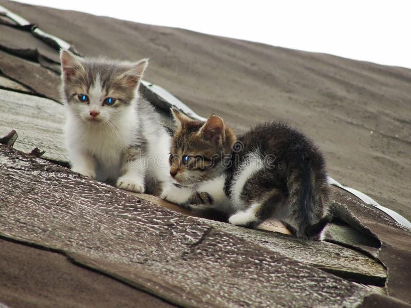 Jonge onervaren schuwe wilde katjes op het dak van een oude rustieke schuur Een paar beklagenswaardige dakloze kleine katten royalty-vrije stock foto's