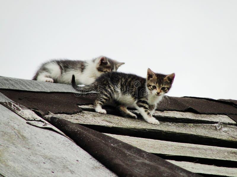 Jonge onervaren schuwe wilde katjes op het dak van een oude rustieke schuur Een paar beklagenswaardige dakloze kleine katten royalty-vrije stock fotografie