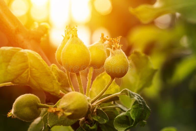 Jonge onrijpe vruchten op een appelboom stock afbeelding