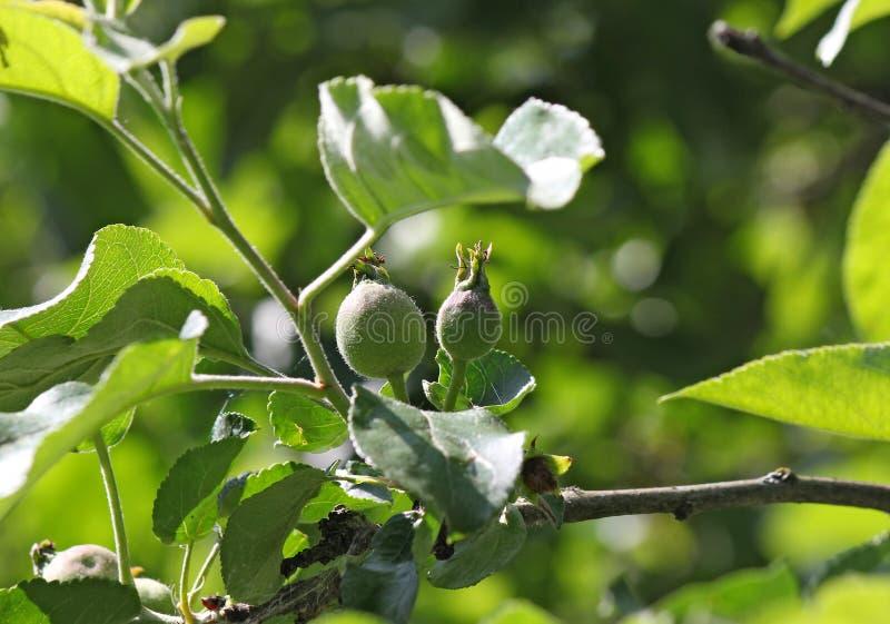 Jonge onrijpe vruchten van Apple op een tak royalty-vrije stock afbeelding