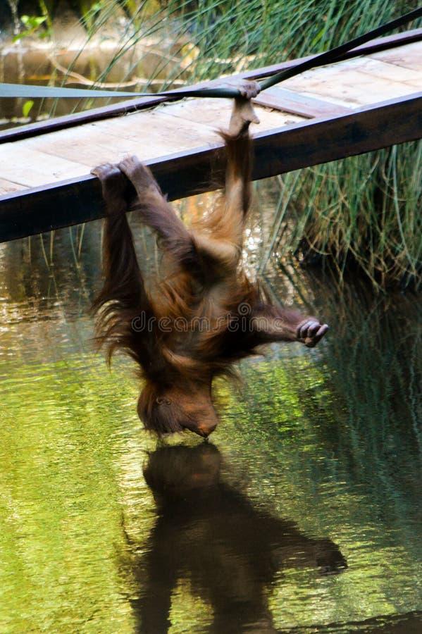 Jonge orangoetan van Paignton-dierentuin royalty-vrije stock fotografie