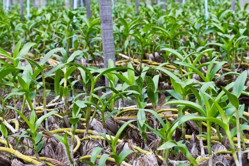 Jonge orchidee in het landbouwbedrijf stock foto