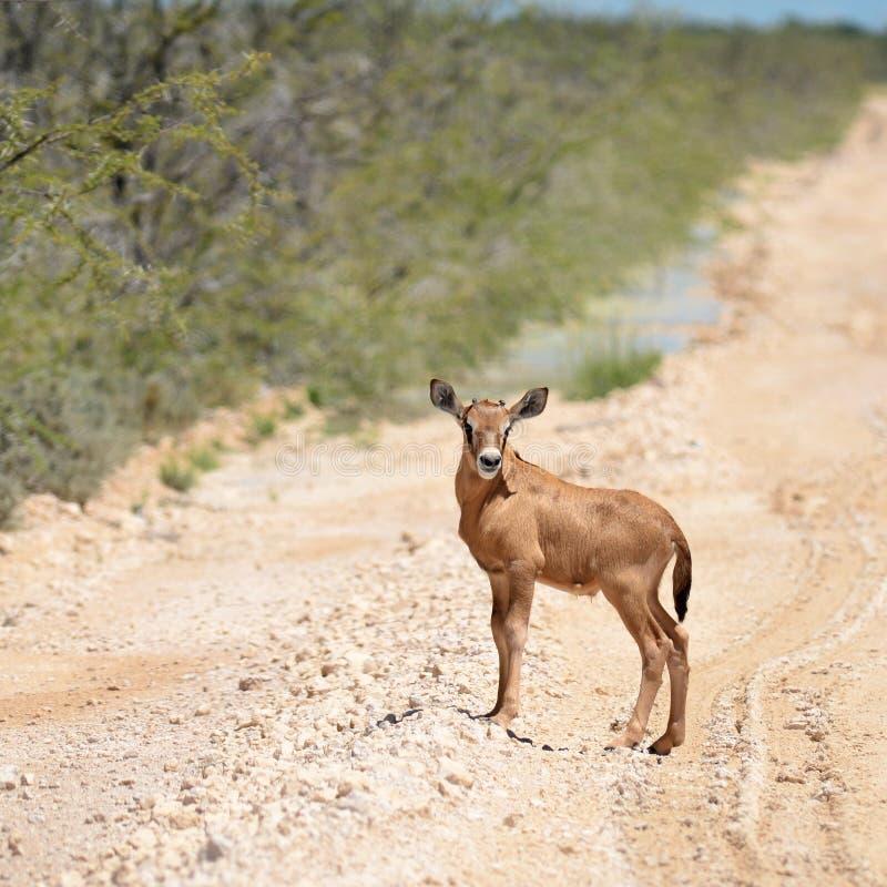 Jonge oryxantilope royalty-vrije stock foto