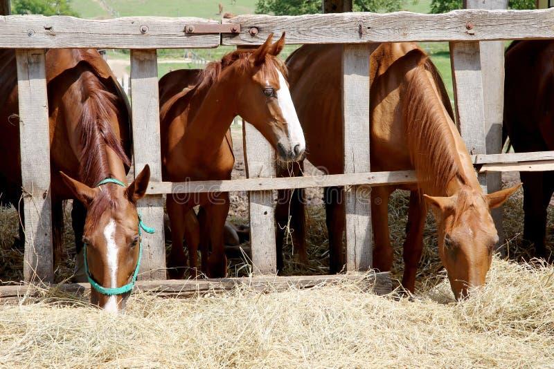 Jonge paarden die droog hooi eten bij dierlijke landbouwbedrijfzomer stock afbeelding