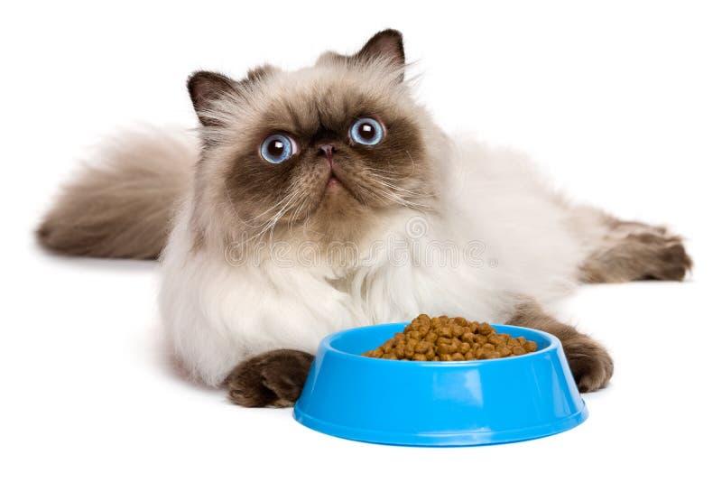 Jonge Perzische verbindings colourpoint kat met een blauwe kom kattenvoedsel stock foto