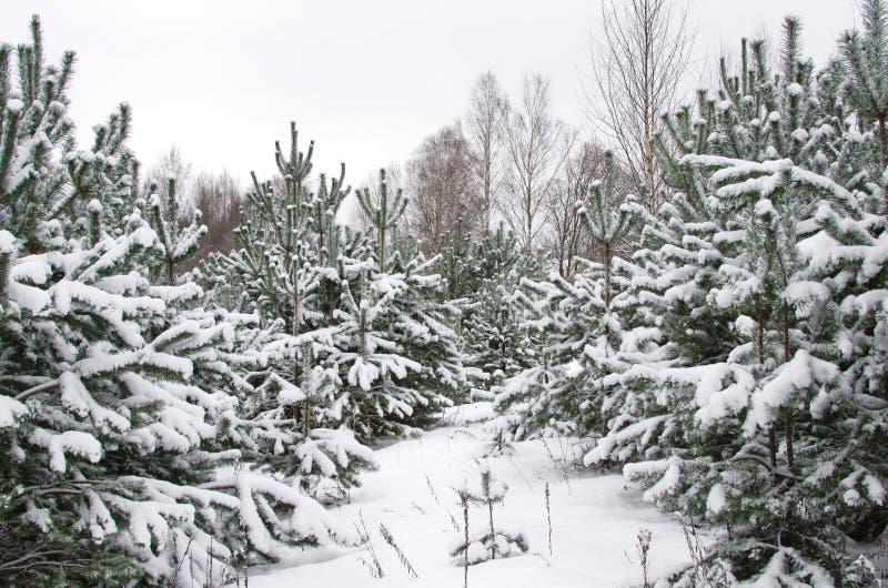 Jonge pijnboombomen die met sneeuw worden behandeld royalty-vrije stock fotografie