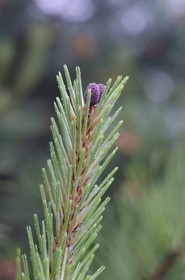 Jonge pijnboomtak met purpere spruiten Nadrukcentrum Vage achtergrond stock foto's