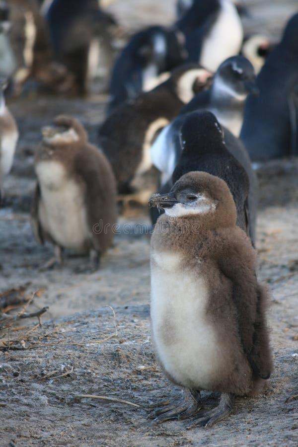 Jonge pinguïn royalty-vrije stock foto's