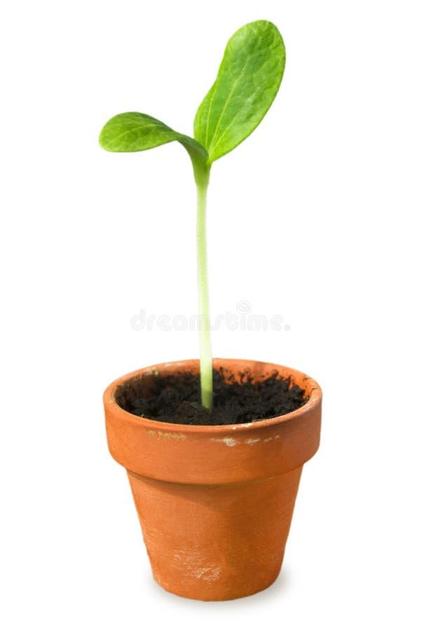 Jonge plant, zaailing in pot op wit wordt geïsoleerd dat Weinig pompoeninstallatie in een kleine bloempot royalty-vrije stock foto