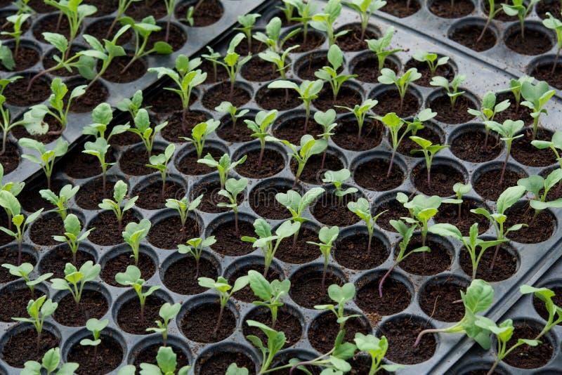 Jonge planten in kinderdagverblijf plastic dienblad, Kinderdagverblijf plantaardig landbouwbedrijf stock foto