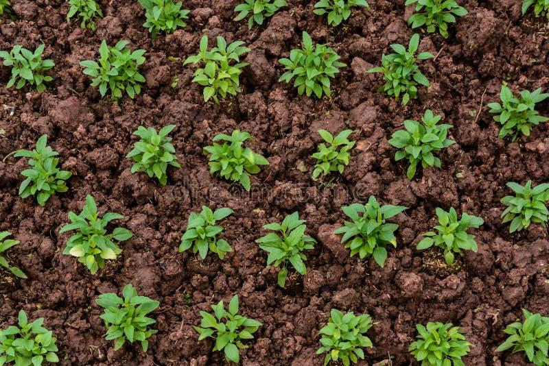 Jonge plantenzaailingen in grond stock foto