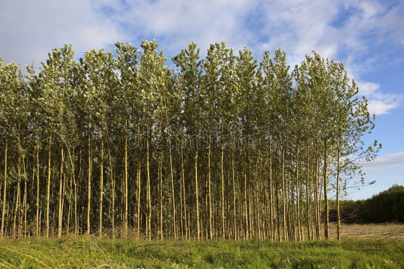 Jonge populierbomen in de zomer stock afbeeldingen