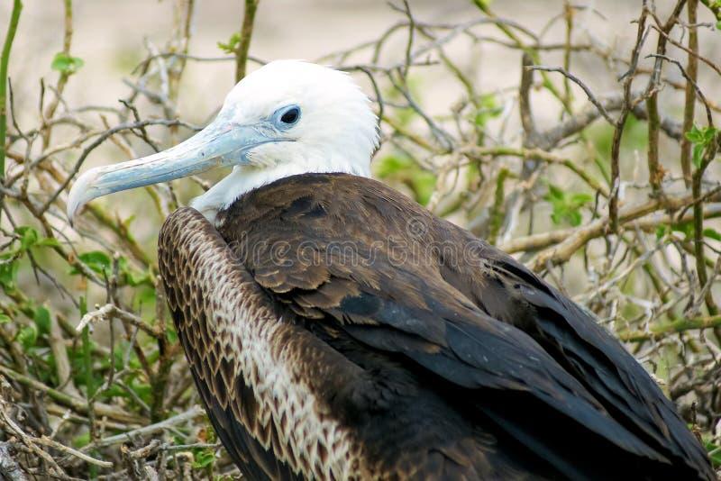 Jonge prachtige frigatebird, het Noorden Seymour, de Galapagos, Ecuador royalty-vrije stock afbeeldingen