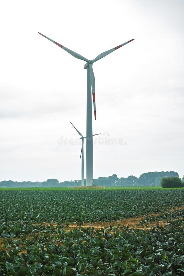 Jonge purpere ronde koolinstallaties die op landbouwbedrijfgebied dicht groeien stock afbeeldingen