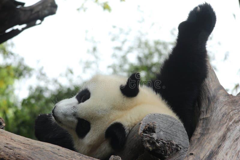 Jonge reuzepanda in China royalty-vrije stock foto's