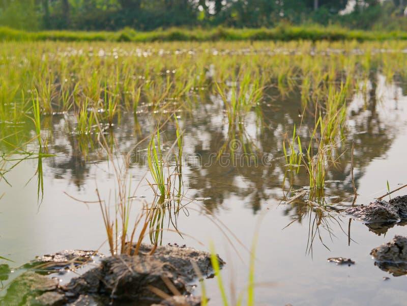 Jonge rijstinstallaties op een padiegebied in de hete middag op het plattelandsgebied van Chiang Mai, Thailand royalty-vrije stock foto's