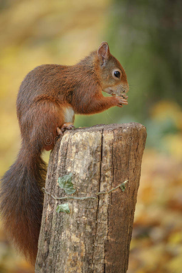 Jonge rode eekhoorn royalty-vrije stock afbeeldingen