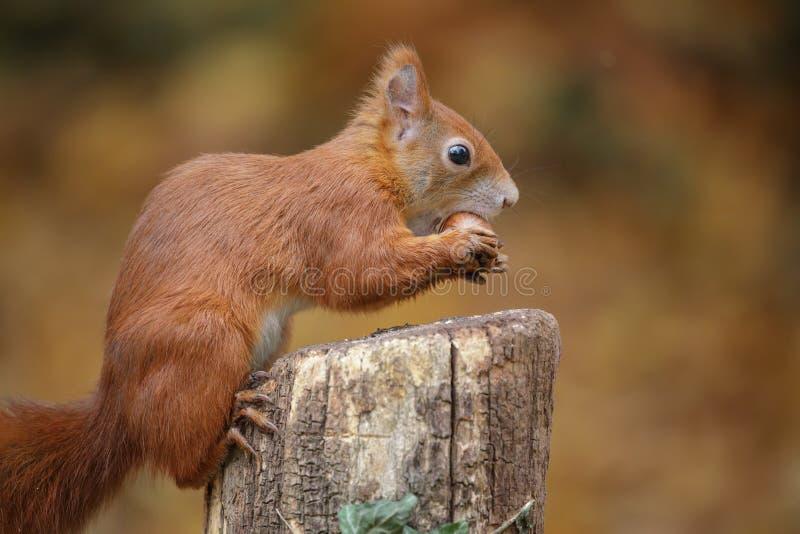 Jonge rode eekhoorn met hazelnoot stock afbeeldingen