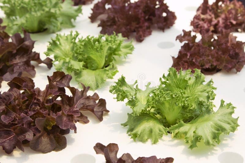 Jonge rode eik, frilliceijsberg, cultuur hydroponic groene groente stock foto