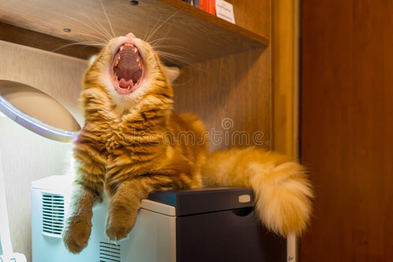 Jonge rode kat van Maine Coon-rassenzitting op de printer en de slingering stock foto