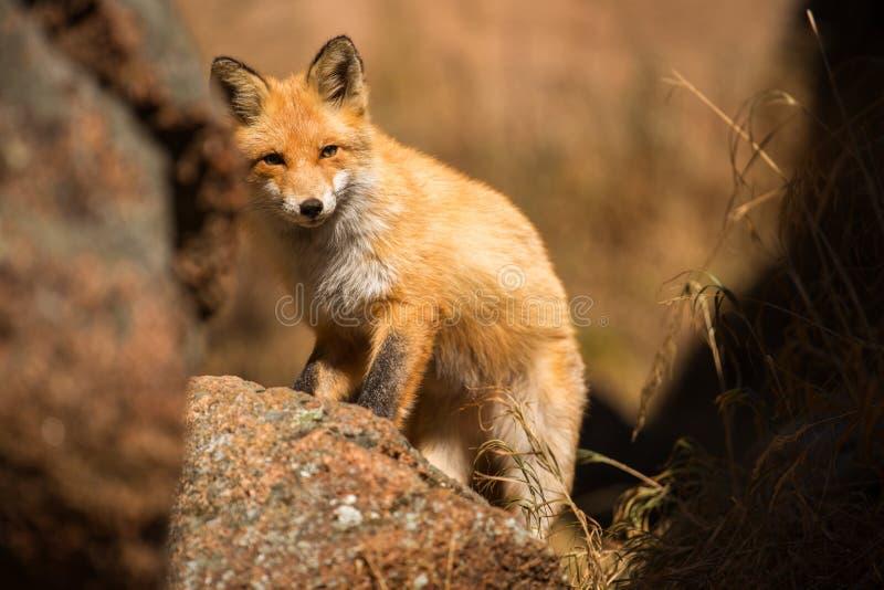 Jonge rode Vos in de wildernis stock afbeelding