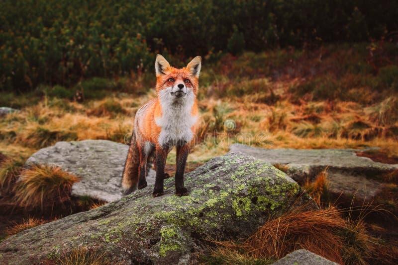 Jonge rode Vos in de wildernis stock afbeeldingen