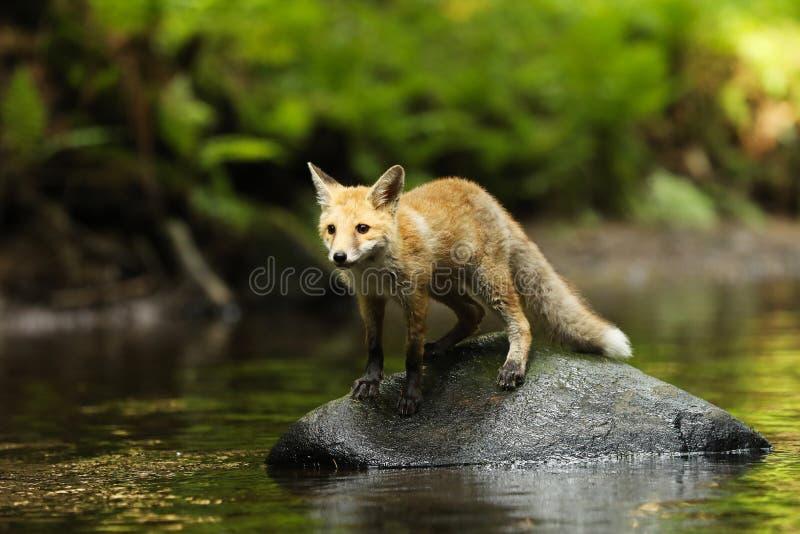 Jonge rode vos in rivier - Vulpes vulpes stock fotografie