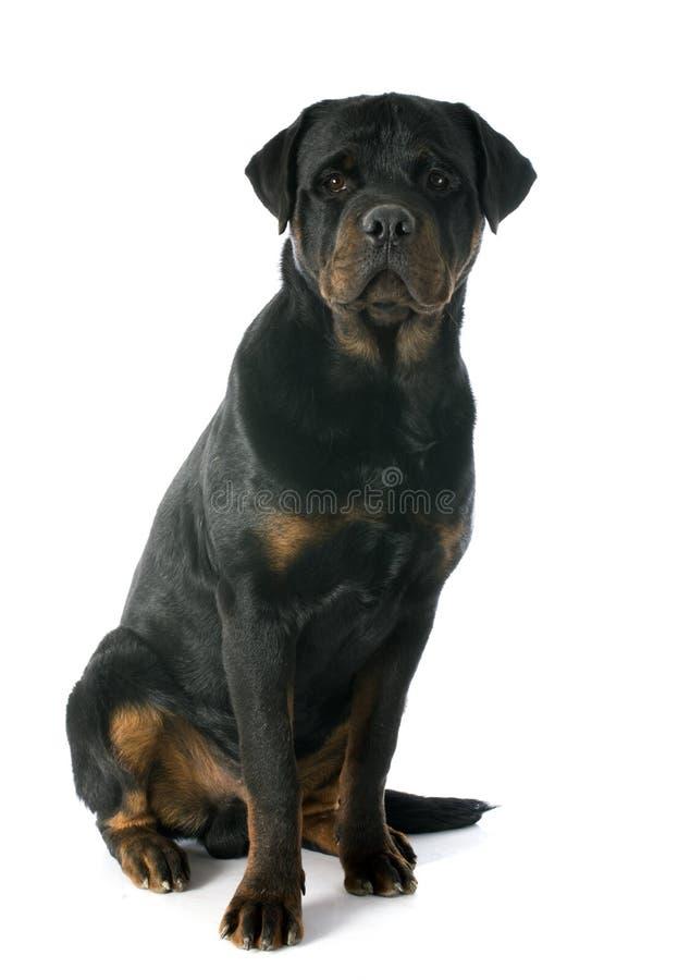 Download Jonge rottweiler stock afbeelding. Afbeelding bestaande uit honds - 39104047