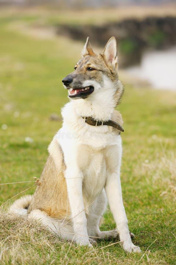 Jonge schor hond op openlucht stock foto