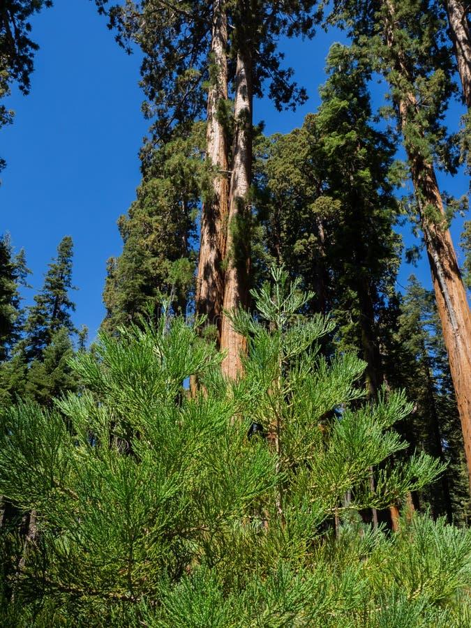 Jonge sequoiabomen royalty-vrije stock afbeelding