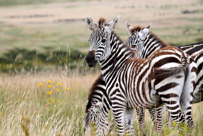 Jonge Serengeti-Zebra royalty-vrije stock fotografie
