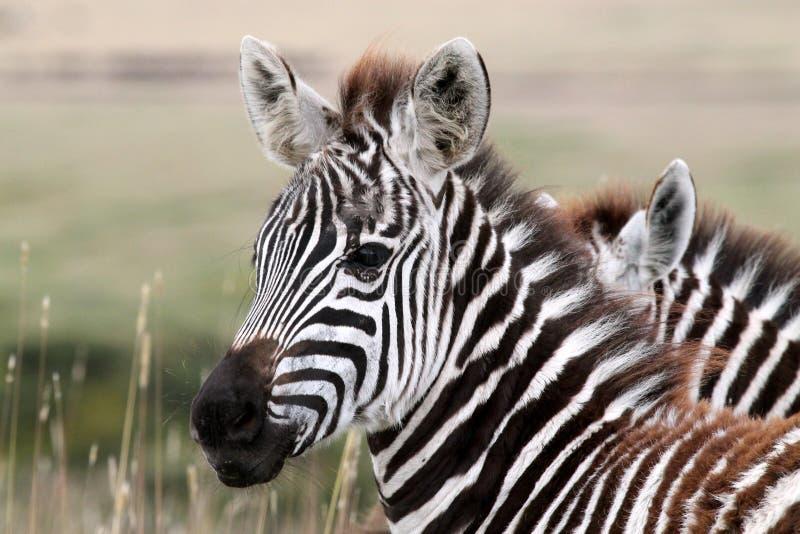 Jonge Serengeti-Zebra royalty-vrije stock afbeeldingen