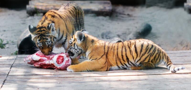 Jonge Siberische tijgers stock foto