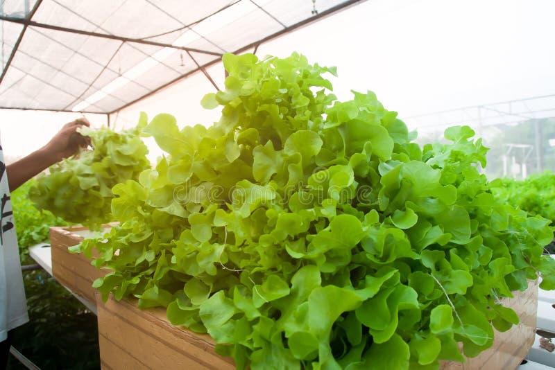 Jonge slimme landbouwer het oogsten saladegroenten in hydrocultuurlandbouwbedrijf stock foto's