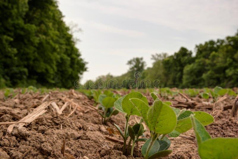 Jonge sojaboonspruiten die omhoog uit vers bewerkte grond komen stock afbeelding