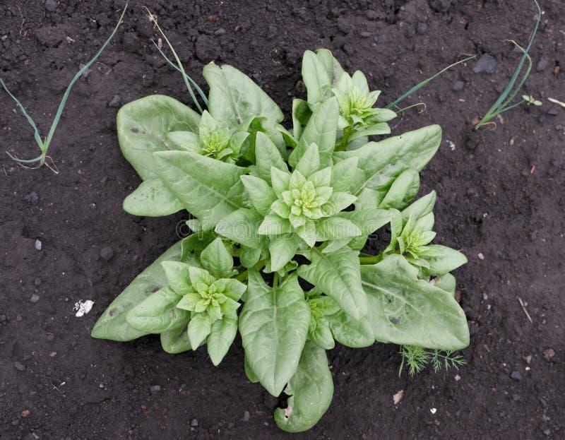 Jonge spinazie op kruidenboerderij stock fotografie
