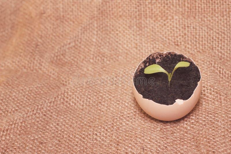 Jonge spruit in een eierschaal royalty-vrije stock foto