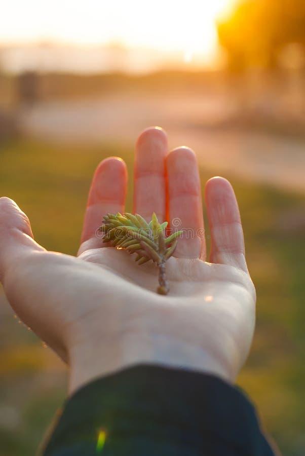 Jonge spruit ter beschikking bij zonsondergang stock fotografie