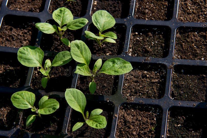 Jonge spruiten van aubergine De spruiten van aubergines van zaden thuis worden gekweekt dat royalty-vrije stock afbeelding