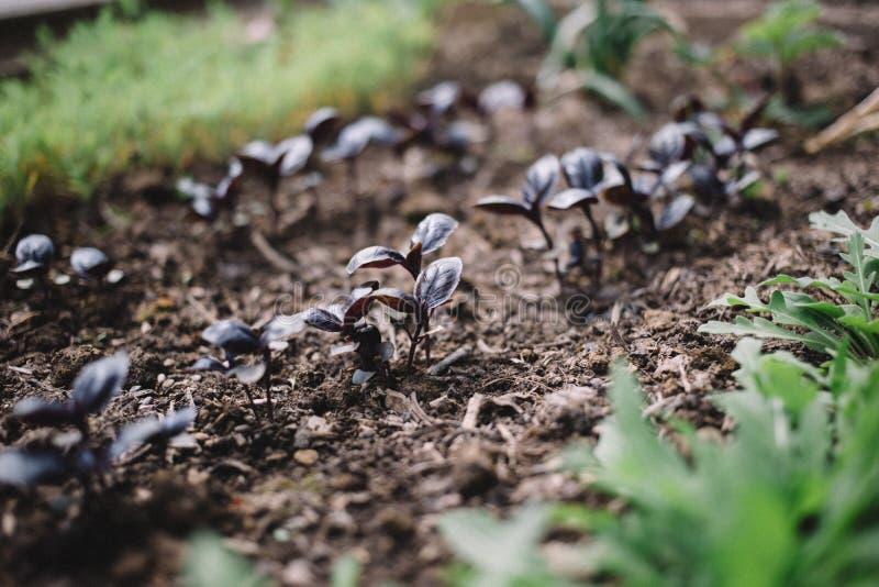 Jonge spruiten van Basilicum en arugula in de tuin, het groeien kruiden Het organische bladgroente tuinieren royalty-vrije stock afbeeldingen