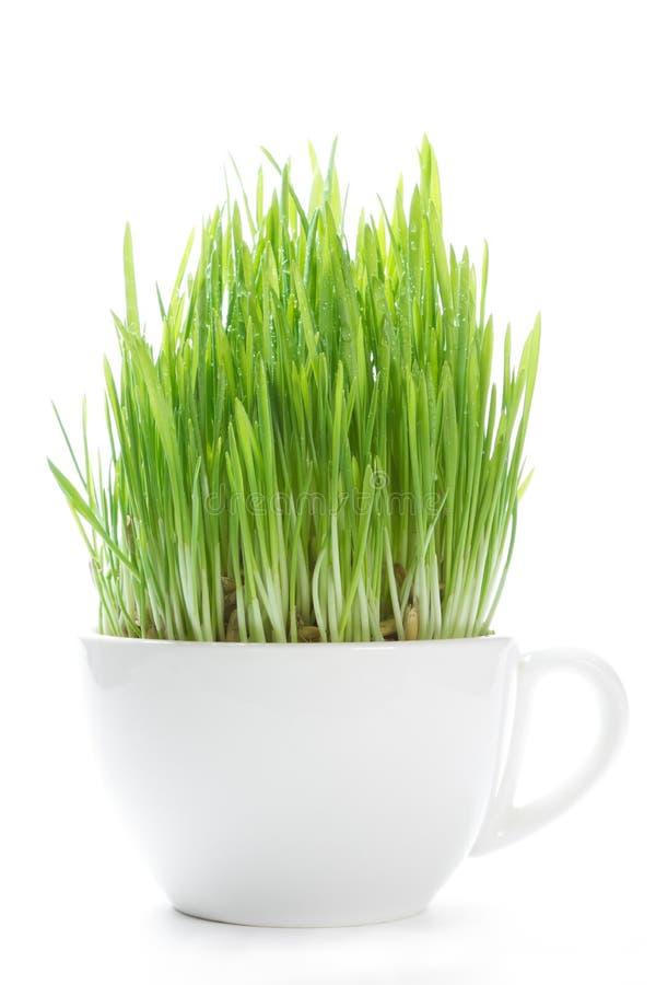 Jonge spruiten van gras stock fotografie