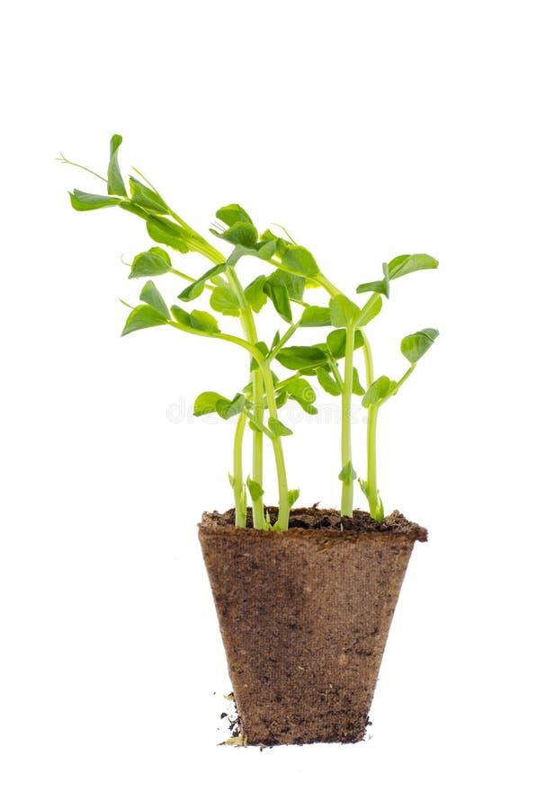 Jonge spruiten van groene erwtenspruiten in turfpot royalty-vrije stock foto