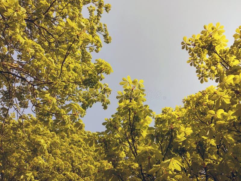 Jonge spruiten van kastanje tegen de blauwe hemel royalty-vrije stock afbeelding