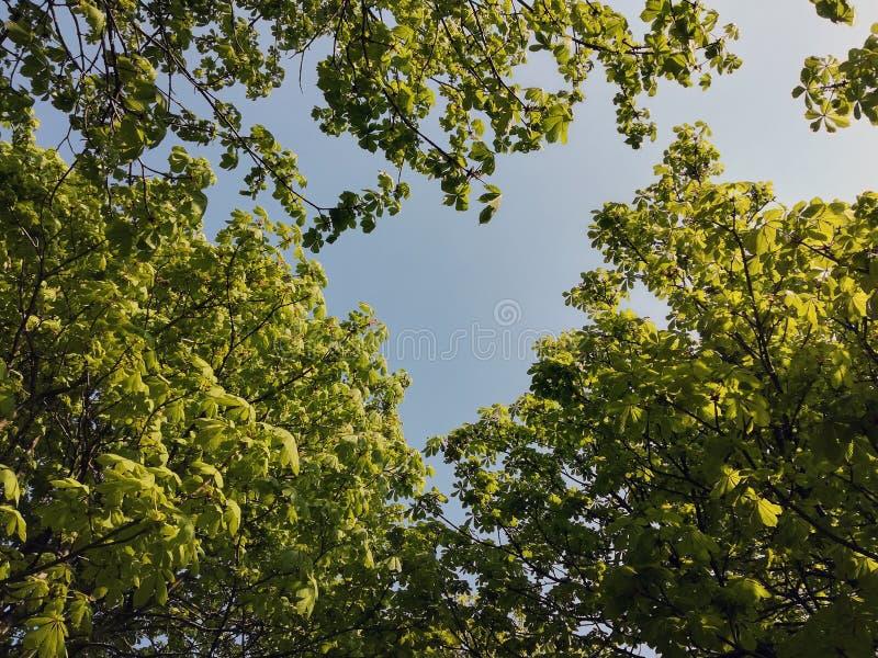 Jonge spruiten van kastanje tegen de blauwe hemel royalty-vrije stock foto's