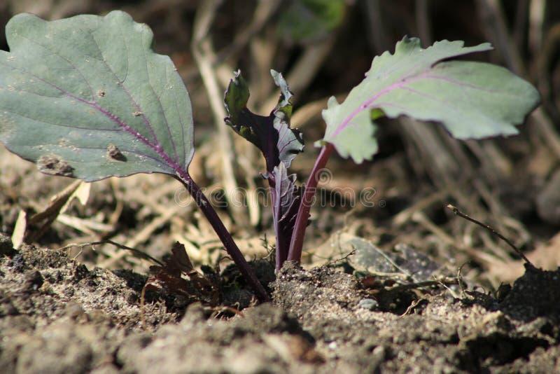 Jonge spruiten van kool Koolzaailingen in de tuin serreinstallaties, zaailingen in de serre, selectieve nadruk, onduidelijk beeld stock fotografie